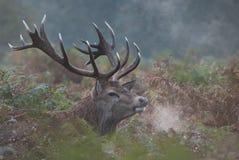 Ciervos rojos del macho en el brezo profundo fotos de archivo libres de regalías