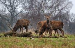 Ciervos rojos del macho en un parque inglés Fotografía de archivo libre de regalías