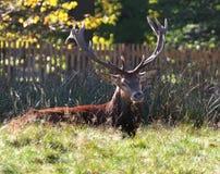 Ciervos rojos del macho en un parque inglés Imagenes de archivo