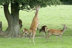 Ciervos rojos - elaphus del Cervus Fotografía de archivo
