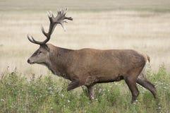 Ciervos rojos - elaphus del Cervus Fotos de archivo libres de regalías