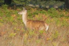 Ciervos rojos - elaphus del Cervus Foto de archivo