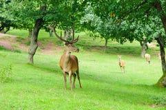 Ciervos rojos (elaphus del Cervus) foto de archivo