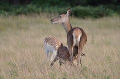 Ciervos rojos, elaphus del cervus Fotografía de archivo libre de regalías