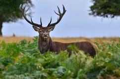 Ciervos rojos, elaphus del cervus Fotos de archivo libres de regalías