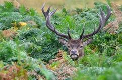 Ciervos rojos, elaphus del cervus Foto de archivo libre de regalías
