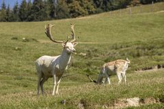 Ciervos rojos, elaphus del cervus Un mamífero grande imagen de archivo