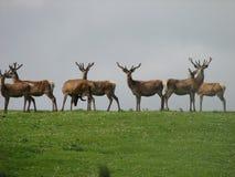 Ciervos rojos escoceses Imagen de archivo libre de regalías