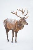 Ciervos rojos masculinos (lat. Elaphus de Cervis) Foto de archivo libre de regalías