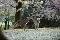 Ciervos sagrados de Japón, durante la estación del flor de cereza Fotos de archivo