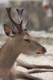 Ciervos sagrados en la isla de Miyajima Imagen de archivo