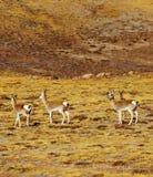 Ciervos salvajes Fotos de archivo libres de regalías
