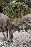 Ciervos salvajes Imagen de archivo