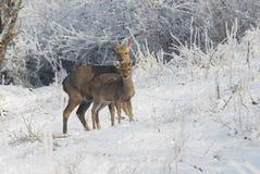 Ciervos salvajes del chinaânortheast Fotografía de archivo libre de regalías