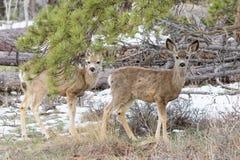 Ciervos salvajes en los altos llanos de Colorado Foto de archivo