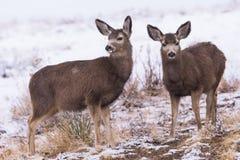 Ciervos salvajes en los altos llanos de Colorado imagen de archivo