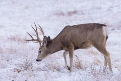 Ciervos salvajes en los altos llanos de Colorado imágenes de archivo libres de regalías