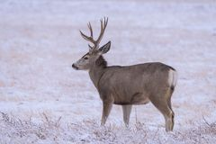 Ciervos salvajes en los altos llanos de Colorado fotografía de archivo libre de regalías