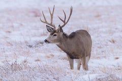 Ciervos salvajes en los altos llanos de Colorado imagen de archivo libre de regalías