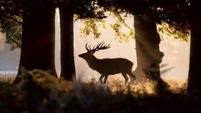 Ciervos salvajes Forest Silhouette Luz del sol de la mañana Imagen de archivo libre de regalías