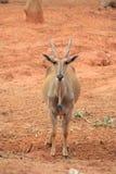 Ciervos salvajes grandes con los claxones cortos Fotos de archivo libres de regalías