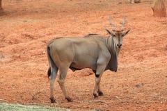 Ciervos salvajes grandes con los claxones cortos Foto de archivo libre de regalías