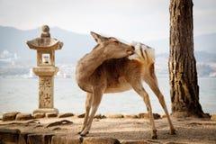 Ciervos santos en la capilla de Itsukushima Imagen de archivo