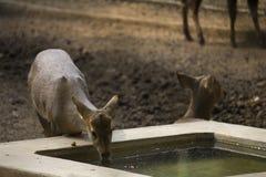 Ciervos sedientos Foto de archivo libre de regalías
