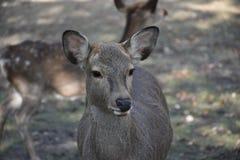 Ciervos sin el cuerno en Nara, Japón Fotografía de archivo