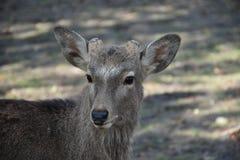 Ciervos sin el cuerno en Nara, Japón Imagenes de archivo