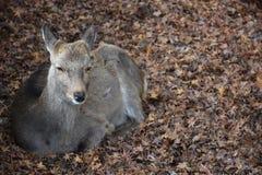 Ciervos sin el cuerno en Nara, Japón Foto de archivo