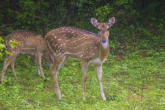 Ciervos srilanqueses de AXIS imagen de archivo