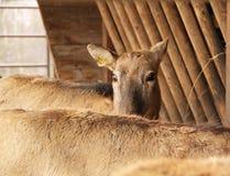 Ciervos tímidos del milu Imagen de archivo libre de regalías