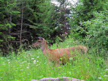 Ciervos traseros en bosque Fotografía de archivo libre de regalías