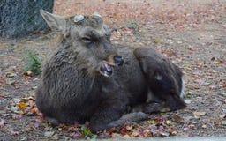 Ciervos viejos de Sika en Nara Foto de archivo libre de regalías