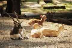 Ciervos y antílope Fotografía de archivo libre de regalías