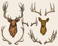 Ciervos y cuernos fijados Foto de archivo