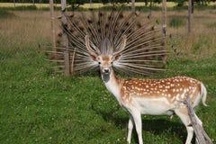 Ciervos y pavo real Imagen inusual Foto de archivo libre de regalías