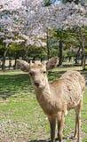 Ciervos y Sakura en Nara Park Fotos de archivo libres de regalías