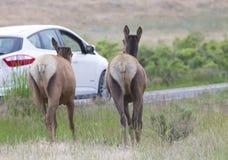 Ciervos - Yellowstone Fotos de archivo libres de regalías