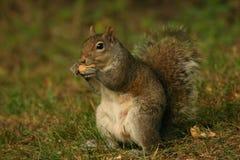 cieszyć się orzechy wiewiórek. Zdjęcie Royalty Free