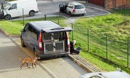 Cieszyn Polen - 15 April 2018: Special maskin för bärande hundkapplöpning arkivfoton