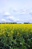 Cieux bleus nuageux au-dessus de champ de Canola de Manitoba Image libre de droits