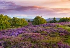 Cieux dramatiques au-dessus de bruyère pourpre et rose sur la lande de Dorset photographie stock