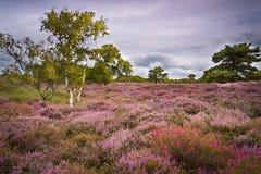 Cieux dramatiques au-dessus de bruyère pourpre et rose sur la lande de Dorset photo libre de droits