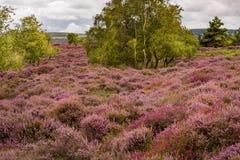 Cieux dramatiques au-dessus de bruyère pourpre et rose sur la lande de Dorset image libre de droits
