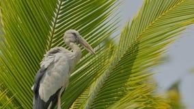 Cigüeña abierta asiática de la cuenta en un árbol de coco imagen de archivo