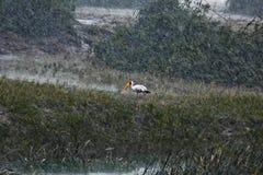 cigüeña Amarillo-cargada en cuenta debajo de la lluvia tropical Foto de archivo