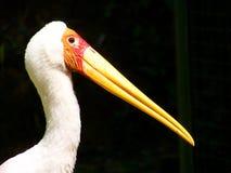 cigüeña Amarillo-mandada la cuenta Imagenes de archivo
