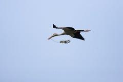 Cigüeña asiática de Openbill Foto de archivo